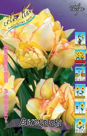 Тюльпан Акилла (tulipa_aquilla)
