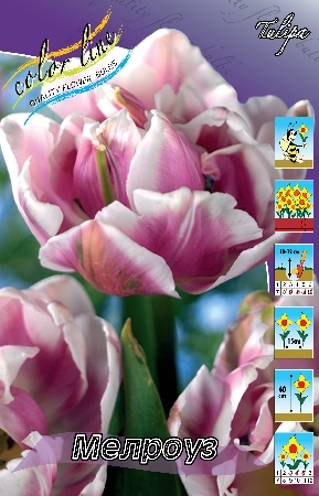 Тюльпан Мелроуз