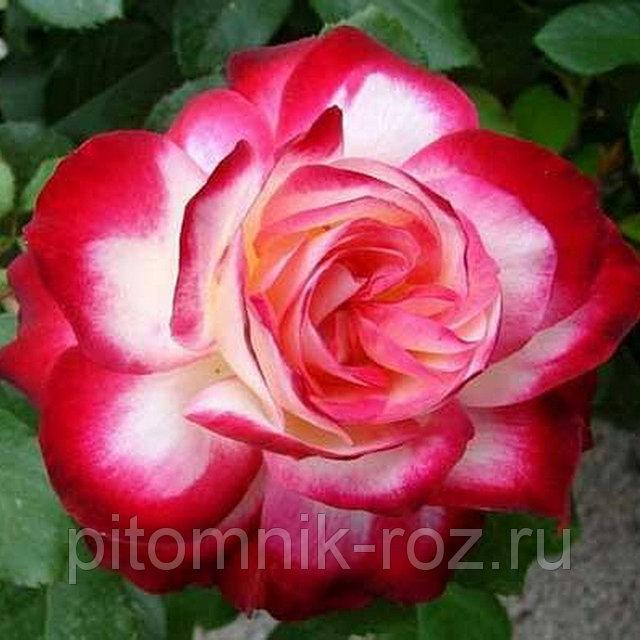 Чайно-гибридная роза Султан (Sultane)