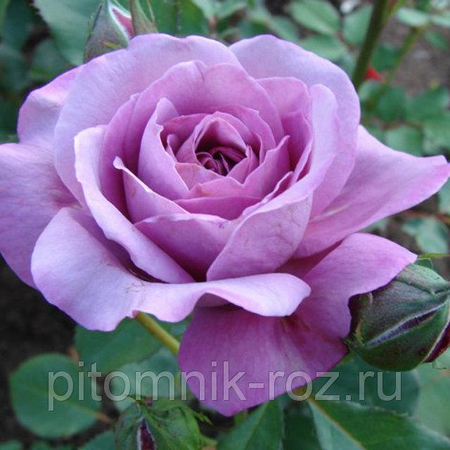 Чайно-гибридная роза Холодная вода (Cool Water)