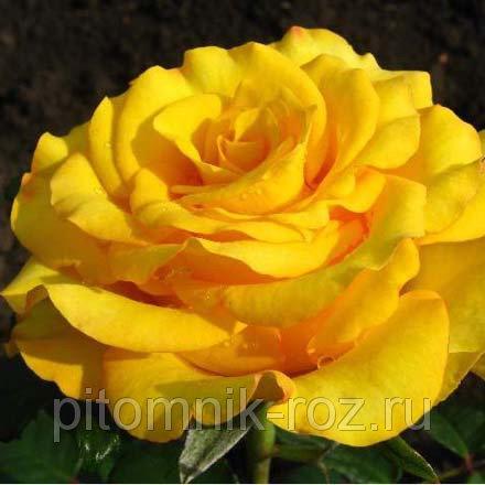 Чайно-гибридная роза Керио (Kerio)