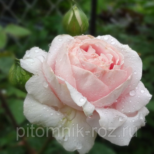Чайно-гибридная роза Фредерик Мистраль (Frederic Mistral)