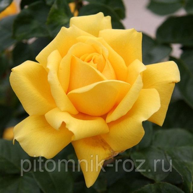 Чайно-гибридная роза Джина Лоллобриджида (Gina Lollobrigida)