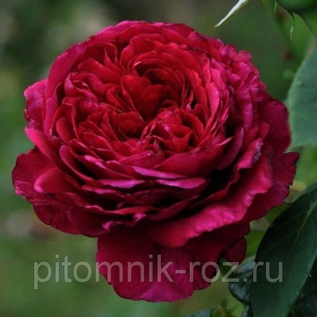 Розы Флорибунда Роза 4-х ветров (Rose des 4 Vents)