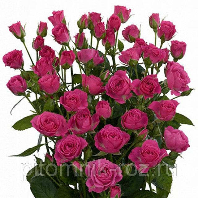 Саженцы розы спрей Прекрасная Лидия (Lovely Lydia)