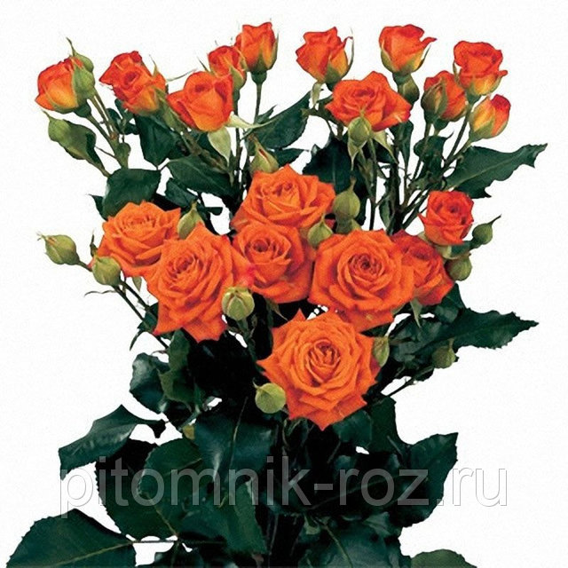 Саженцы розы спрей Бейби (Baby, Interorlan)