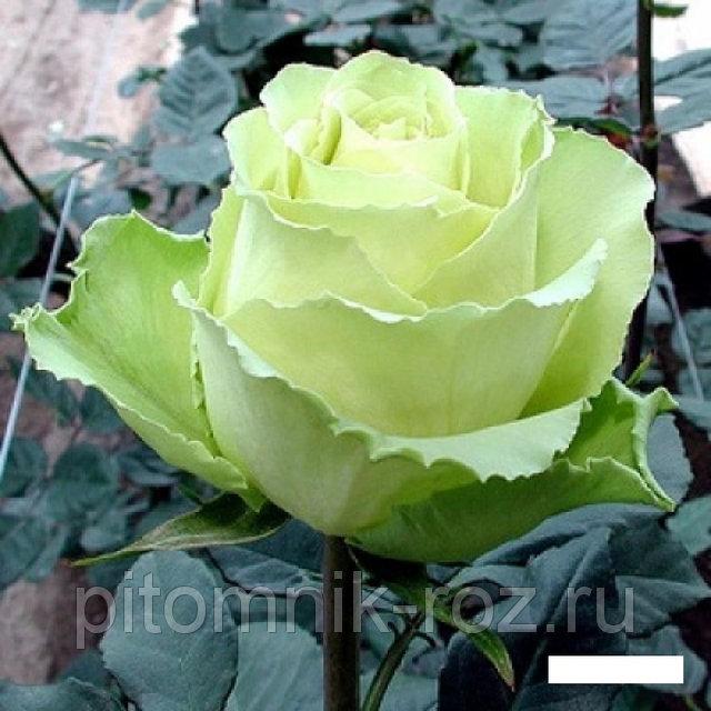 Чайно-гибридная роза Амандина (Amandine)