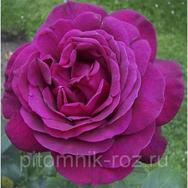 Чайно-гибридная роза Биг Пурпл (Big Purple)