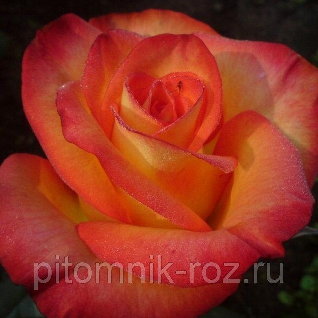 Чайно-гибридная роза Хай Меджик (High Magic)