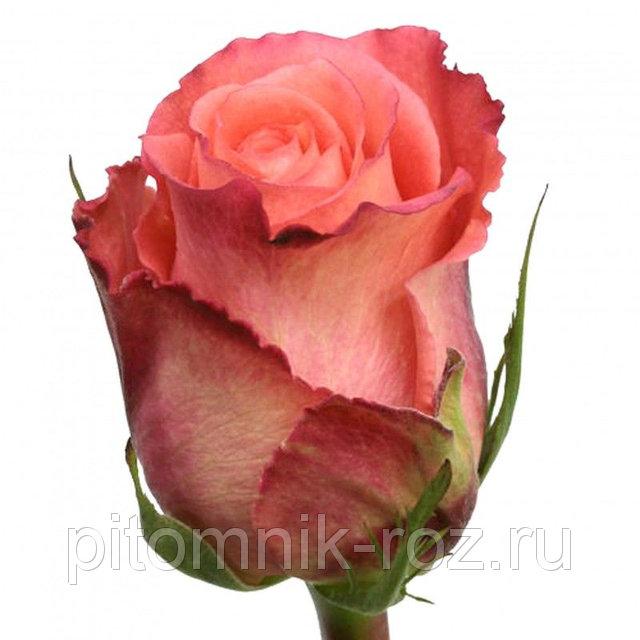 Чайно-гибридная роза Дуэт (Duett)