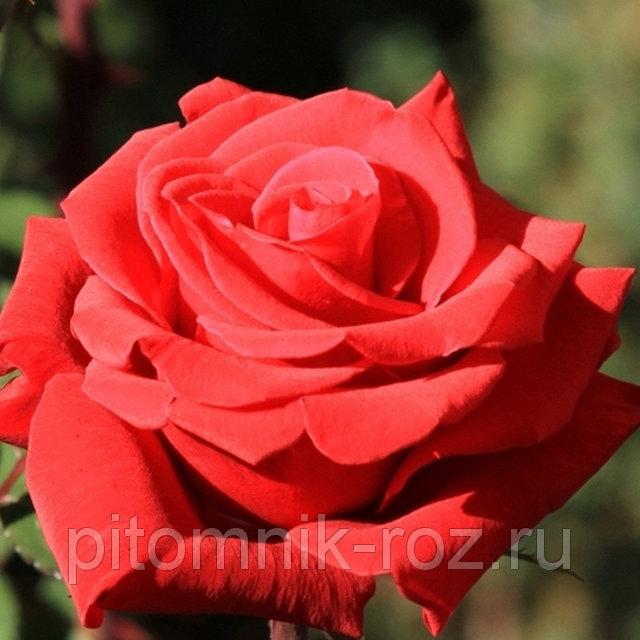 Чайно-гибридная роза Ред Берлин (Red Berlin)
