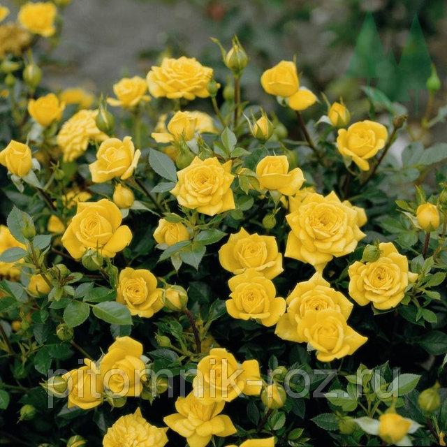 роза спрей Макарена (Macarena)