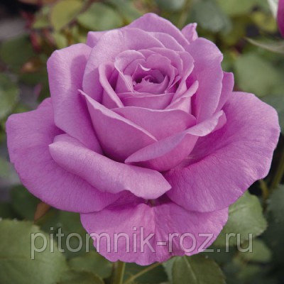Чайно-гибридная роза Клод Брасер