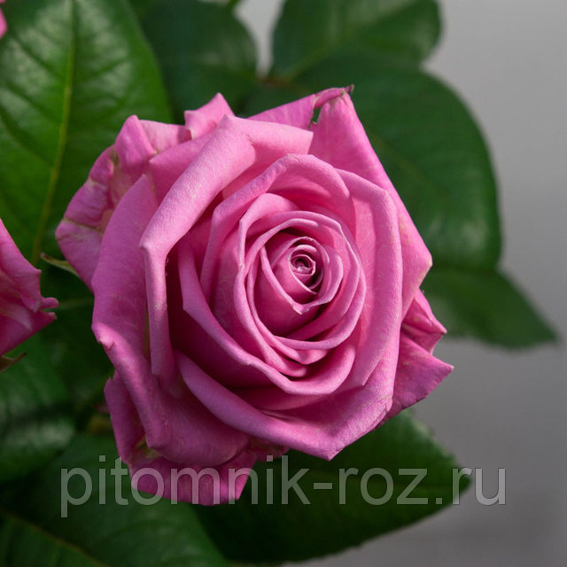 Чайно-гибридная роза Аква (Aqua