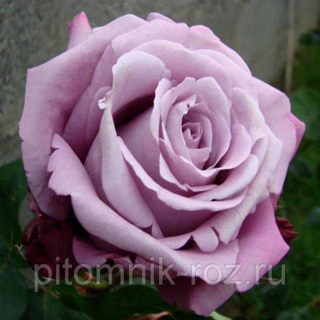 Чайно-гибридная роза Авангард (Avant Garde)