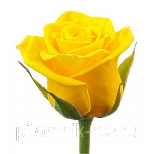 Чайно-гибридная роза Голден Амбишн (Golden Ambition)
