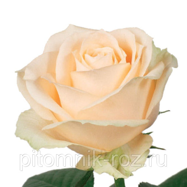 Чайно-гибридная роза Аваланж Пич Peach Avalanche+
