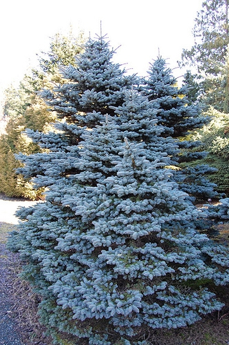 Ель Picea pungens Glauca Arizonica
