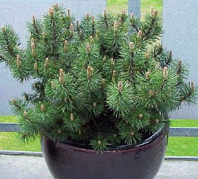 Сосна Pinus mugo mugo