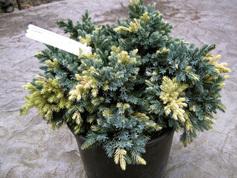 Можжевельник Juniperus squamata Golden Flame