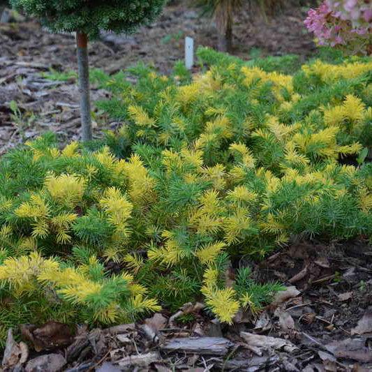 Можжевельник Juniperus conferta Golden Wings