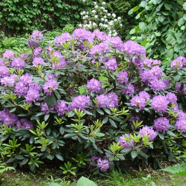 Рододендрон  Rhododendron Catawbiense Boursault