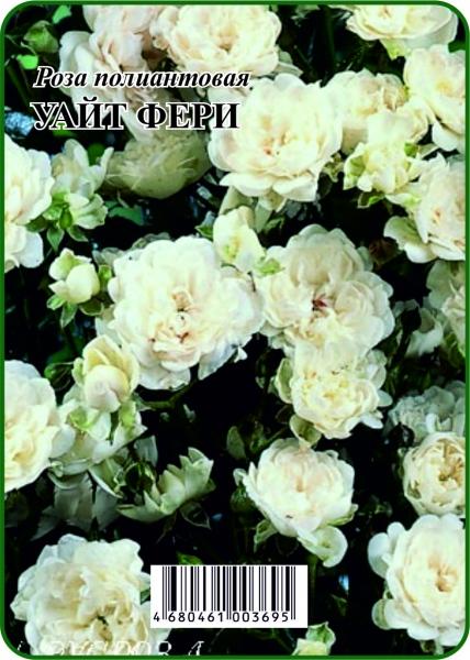 Роза Уайт Фери полиантовая 1,5л Голл