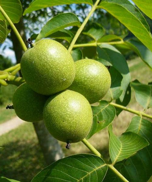 скороплодный  орех грецкий