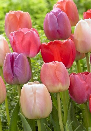 Тюльпан Прайд смесь