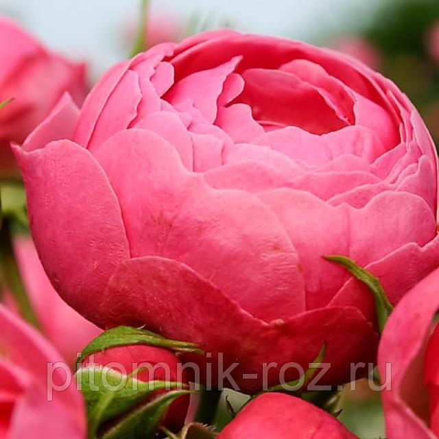 Чайно-гибридная роза Пинк Пиано (Pink Piano)