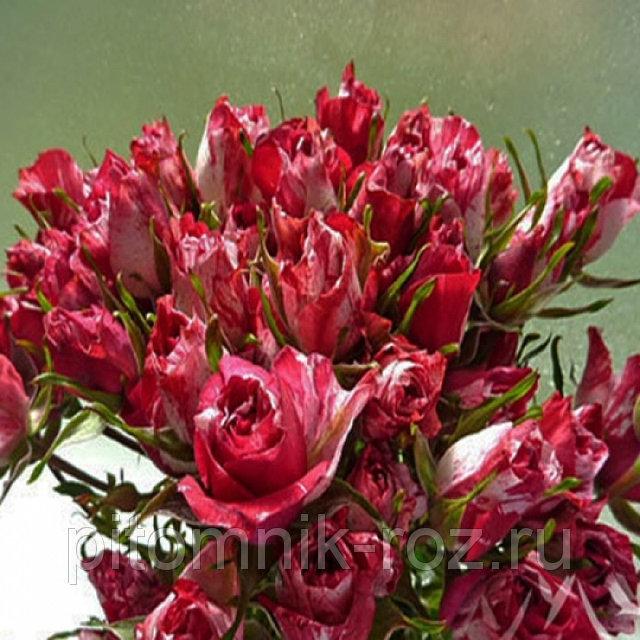 Саженцы розы спрей Ароу Фолиес (Arrow Folies)