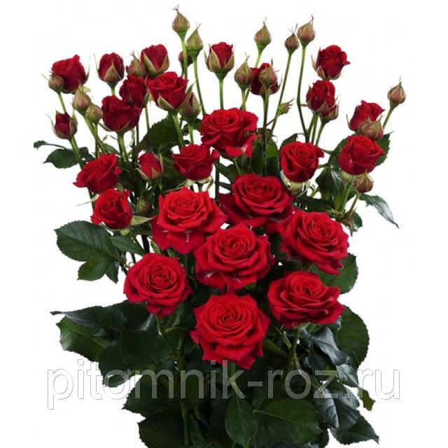 розы спрей Ред Микадо (Red Mikado