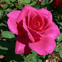 Чайно-гибридная роза Шакира (Shakira)