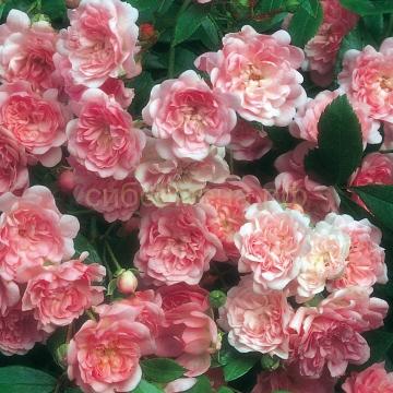 Роза Зе Фери (флорибунда) В