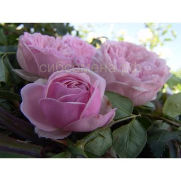Роза Биби Мейзон почвопокровная Сербия