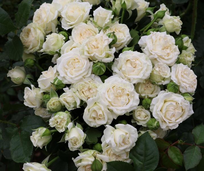 Роза Спрей белая СдС