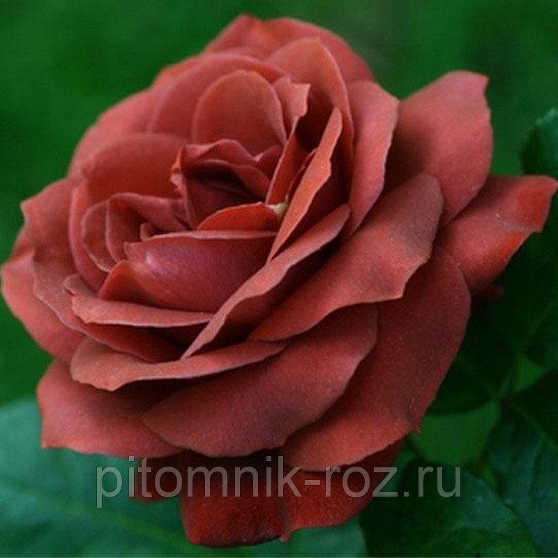 Чайно-гибридная роза Терракота (Terracotta)