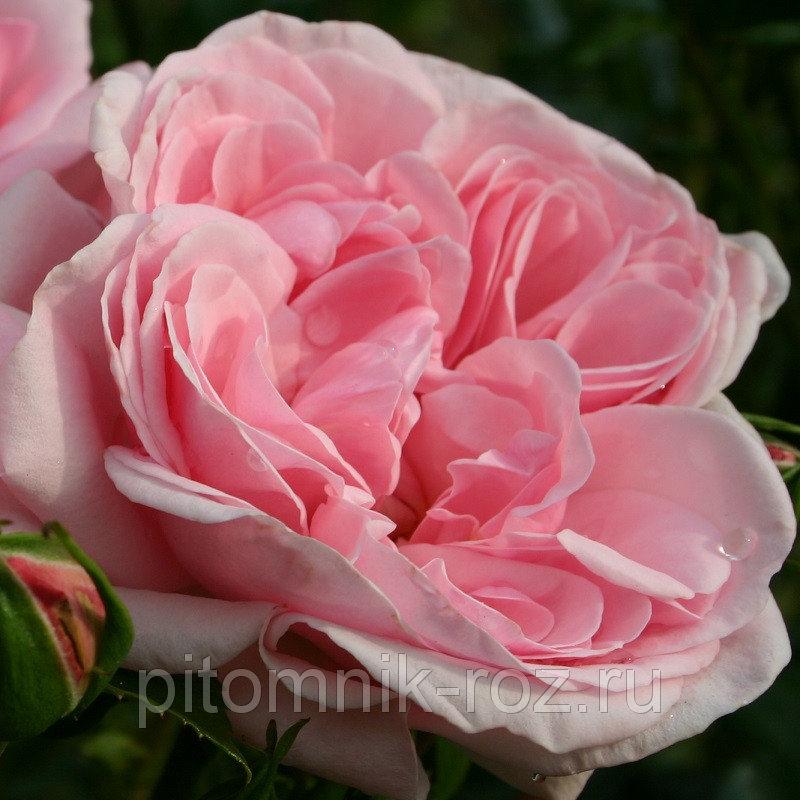 https://pitomnik-roz.ru/p395551011-houm-end-garden.html